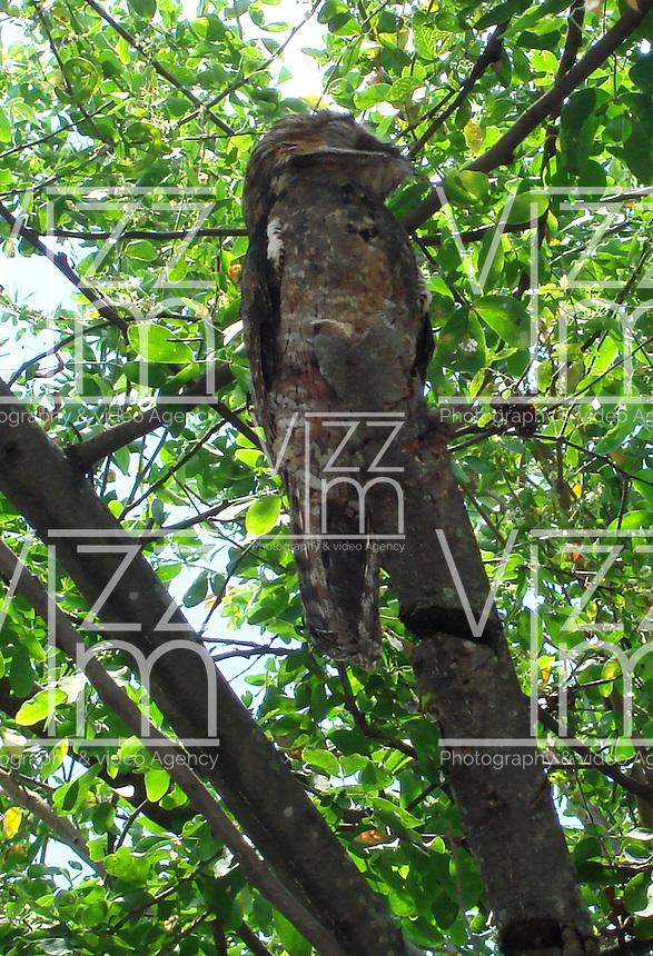 Palmira - COLOMBIA, 30-06-2016: Lechuza, especie de ave presente en Palmira, en el departamento del Valle del Cauca. / Lechuza, bird species present in Palmira, Valle del cauca Department. Photo: VizzorImage / Dario Ramirez / Cont.