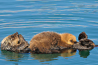 Alaskan or Northern Sea Otter (Enhydra lutris) pup nursing as mom grooms.  Alaska.