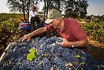 Zinfandel grape harvest at Joe Aparicio's zinfandel grape vineyard on Sutter Ridge in fall..Joe Apraicio checks the bunch quality