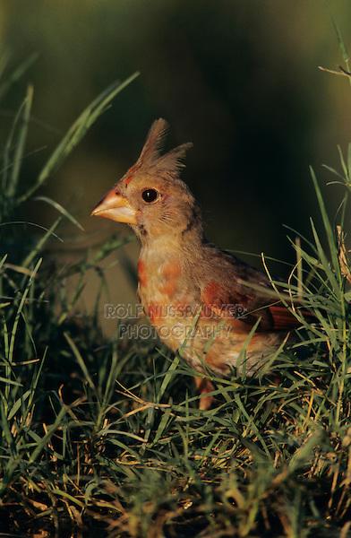 Northern Cardinal, Cardinalis cardinalis, young male, Lake Corpus Christi, Texas, USA
