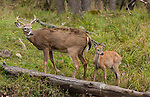White-tailed buck and fawn