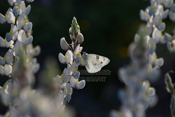 Checkered White Butterfly on Big Bend Bluebonnet, Big Bend National Park, West Texas, USA