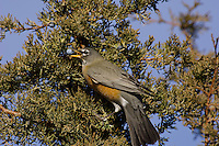 American Robin (Turdus migratorius) feeding on juniper berries.  Western U.S., November.