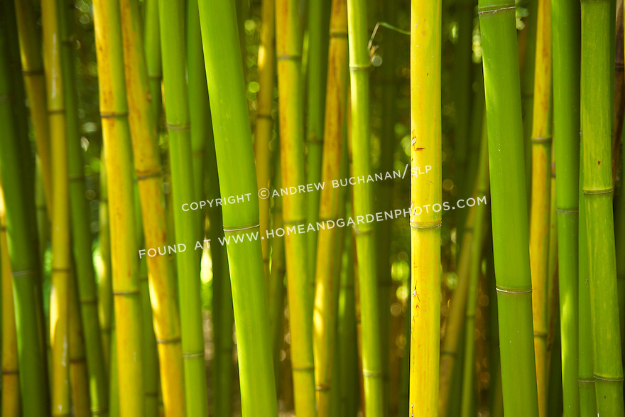 """Detail of tall-growing Rubro bambooo, Phyllostachys rubromarginata, can reach 55' tall in its native habitat, with each culm, or stalk, reaching nearly 3"""" in diameter.  It is hardy to USDA zone 6, prefers full sun, and is drought tolerant when established.  Rubro bamboo is noted for the quality of its wood, and its shoots are edible and tender."""