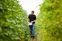 Farmer Manuel Recio harvesting heirloom vegetable, shelling beans, Viridian Farms, Oregon