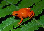 Golden mantella frog (Mantella aurantiaca) Torotorofotsy marsh, eastern Madagascar.