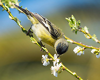 Male Lesser Goldfinch, Carduelis psaltria, feeds on flowers in a plum tree in Berkeley, California