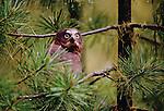 Juvenile northern saw-whet owl, Washington