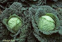 HS37-037a  Cabbage - Savoy - Julius variety