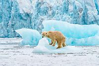 Polar bear (Ursus maritimus) on an iceberg in front of a glacier, Hornsund, Svalbard, Arctic, Norway, Europe
