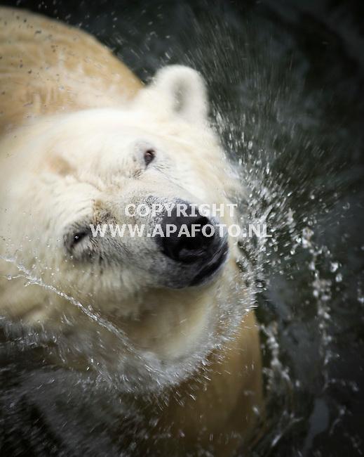 RHENEN 230114 IJsberen Freedom en Viktor na drie jaar herenigd. De laatste drie jaar hebben Freedom en Viktor elkaar alleen maar kunnen horen en ruiken vanuit hun aparte verblijven. IJsberen worden van elkaar gescheiden zodra er jonge ijsberen worden geboren om te voorkomen dat het mannetje de jongen iets aandoet. Freedom<br /> heeft in 2010 haar laatste twee jongen, Siku en Sesi, grootgebracht in Ouwehands Dierenpark. Siku en Sesi zijn inmiddels verhuisd naar andere dierentuinen in Europa.<br /> Foto Jorrit Knuvelder - APA Foto