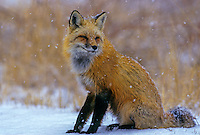 Red fox (Vulpes vulpes) in lightly falling snow.  Jefferson County, CO