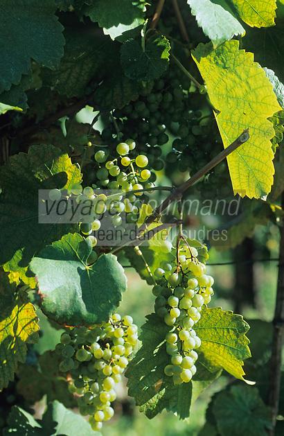 Europe/France/Aquitaine/64/Pyrénées-Atlantiques/Env. de Lasseubetat: Vignoble de Jurançon Cépage petit Manseng