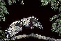 OW07-053z  Saw-whet owl - flying - Aegolius acadicus