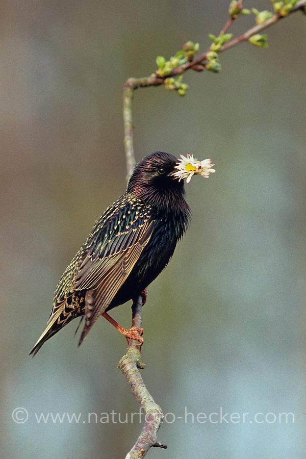Star, mit einer Blüte vom Gänseblümchen im Schnabel, eventuell als Brautgeschenk, Sturnus vulgaris, European starling