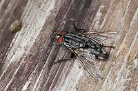 Fleischfliege, Fleisch-Fliege, Sarcophaga spec., Sarcophaga cf. carnaria, fleshfly, flesh-fly, Sarcophagidae, Aasfliegen, Fleischfliegen, fleshflies