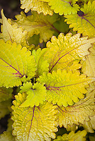 Solenostemon Coleus Pineapple Queen in yellow gold green foliage, annual plant