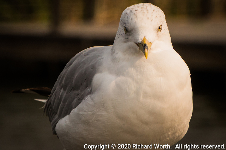 "A Ring-billed gull gives a stoney direct stare at a neighborhood park known as ""The Duck Pond""."