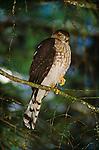 Sharp-shinned hawk, Washington