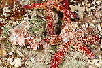 Harlequin shrimps feeding on starfish (Hymenocera elegans)