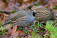 California Quail  (Callipepla californica) male (foreground).  Pacific Northwest.