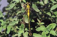 Gemeine Keiljungfer, Weibchen, Gomphus vulgatissimus, club-tailed dragonfly, clubtailed dragonfly, Flußjungfer, Flussjungfer, Gomphidae, clubtail dragonflies