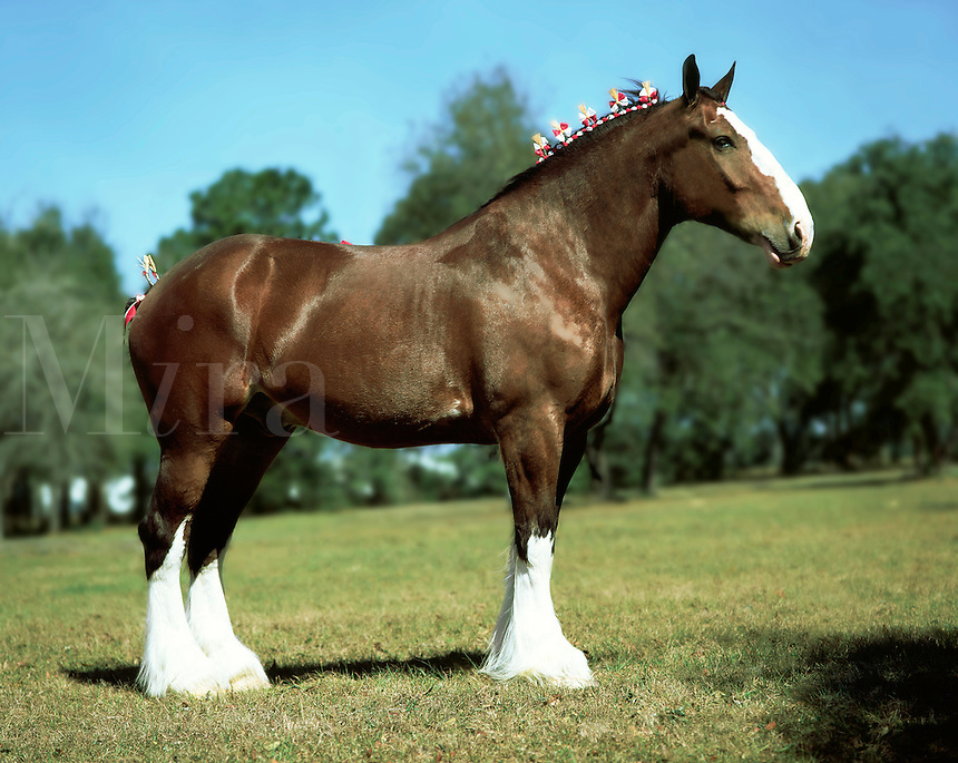 Clydesdale Draft Horse stallion in show dress.