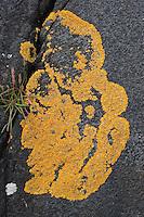Gelbflechte, Blattflechte an Küstenfelsen, Spritzwasserzone, Xanthoria cf. aureola, Parmelia aureola, Physcia aureola, Physcia ectaneoides, Xanthoria parietina var. aureola