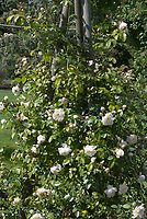 Climbing rose Rosa Perpetually Yours (Harfable), white
