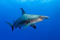 great hammerhead shark, Sphyrna mokarran, small remora on dorsal fin, Bahamas, Caribbean, Atlantic