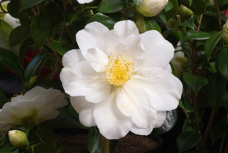 Camellia japonica 'Charles Bettes' closeup of white flower