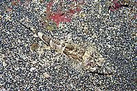 flathead, Onigocia spinosa, Izu ocean park, Sagami bay, Izu peninsula, Shizuoka, Japan, Pacific Ocean