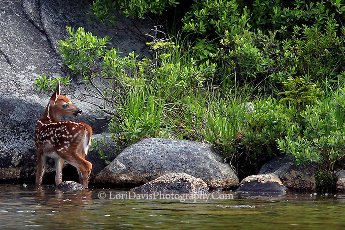 Whitetail Fawn  #D17