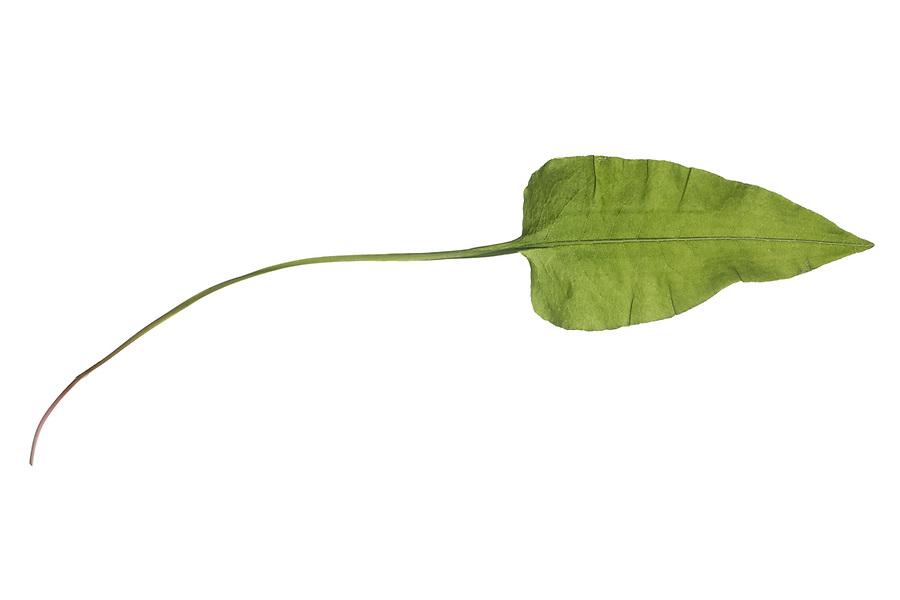 Wiesenknöterich, Schlangen-Wiesenknöterich, Schlangenknöterich, Schlangen-Knöterich, Wiesen-Knöterich, Bistorta officinalis, Polygonum bistorta, Persicaria bistorta, Adderwort, Meadow Bistort, bistort, common bistort, European bistort, snakeroot, snake-root, snakeweed, la Renouée bistorte. Blatt, Blätter, leaf, leaves