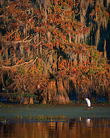 An egret perched below a large, mossy bald cypress at sunset.