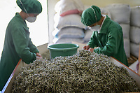ALBANIA, Cape Rodonit, processing of herbal and medical plants at company Naturalalba, sage / ALBANIEN, Kap Rodonit, Verarbeitung von Heil- und Gewuerzpflanzen bei Firma Naturalalba, Sortierung von getrocknetem Salbei