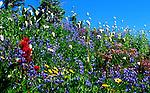 Medely of wild flowers on Mt. Rainier near Paradise visitor center.