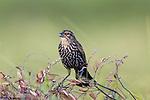 Red-winged blackbird - female