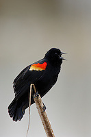 Red-winged Blackbird (Agelaius phoeniceus) male singing.  Pacific Northwest.  Spring.
