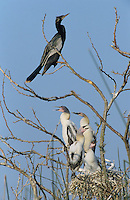 Anhinga, Anhinga anhinga, adult at nest with young, Welder Wildlife Refuge, Sinton, Texas, USA
