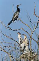 Anhinga, Anhinga anhinga, adult at nest with young, Welder Wildlife Refuge, Sinton, Texas, USA