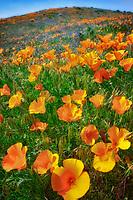 California poppies (Eshscholtzia californica). Antelope Valley Poppy Preserve, California
