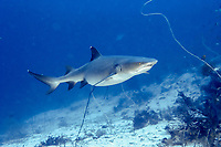 whitetip reef shark, Triaenodon obesus, female, pregnant, Takat toko (Castle rock), Gili Lawalaut, Komodo, Indonesia, Flores sea, Indian Ocean