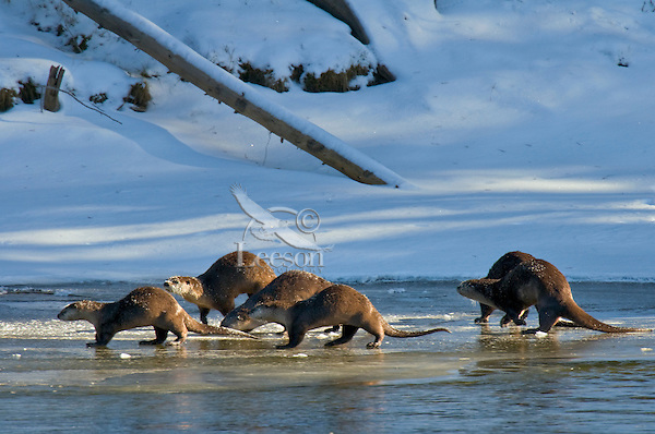 Northern River Otters (Lontra canadensis)