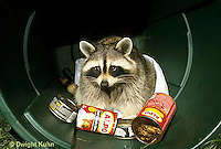 MA25-178z  Raccoon - in garbage can looking for food - Procyon lotor