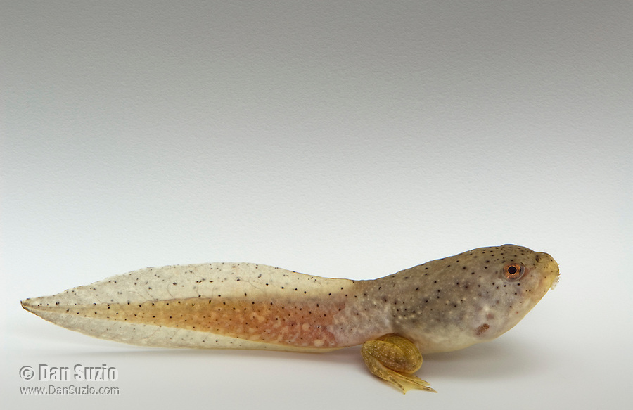 Tadpole of American bullfrog, Rana catesbeiana, with hind legs. Native to the Eastern United States, bullfrogs were introduced and have become established west of the Rockies. Bullfrogs are large, aggressive predators and prolific breeders, and have seriously depleted native frog populations in many areas of the West.