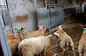 29/09/05 - BOURBON L ARCHAMBAULT - ALLIER - FRANCE - SICABA. Societe d Interet Collectif Agricole de Bourbon l Archambault. Abattage, decoupe, conditionnement et commercialisation de viande de bovin, d ovin et de porc. Arrivage d un lot d ovins pour l abattage - Photo Jerome CHABANNE
