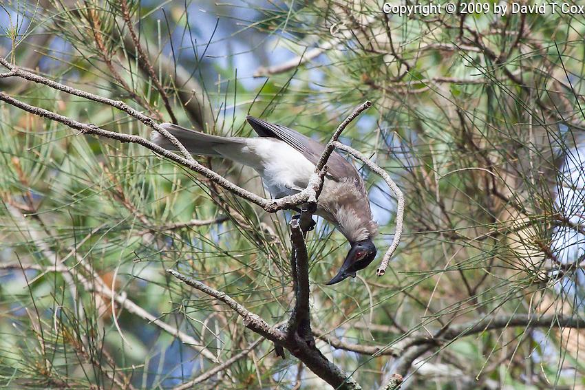 Noisy Friarbird, Neranie Bay, Myall Lakes, NSW, Australia