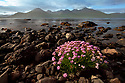 Flowering thrift {Armeria maritima} growing on loch shoreline. Isle of Mull, Inner Hebrides, Scotland, UK.