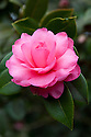 Camellia x williamsii 'Water Lily'. mid March.